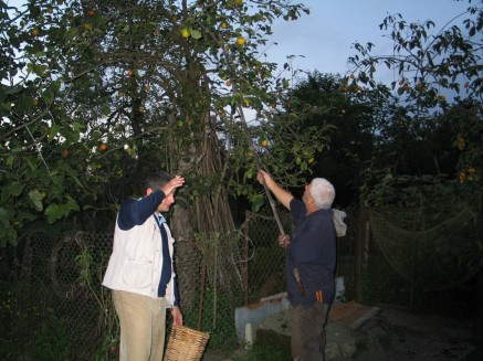 Dato and his father picking karalioki (persimoms) 2006